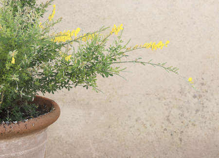 Yellow broom genista flowers on branches with green leaves in terracotta pot background copy space. 写真素材