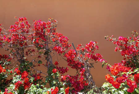 Red bougainvillea flowers against terracotta brown wall on a sunny day in Mallorca, Spain