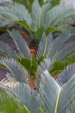 Palm leaves Cycas revoluta palm in pots in Mallorca, Spain.