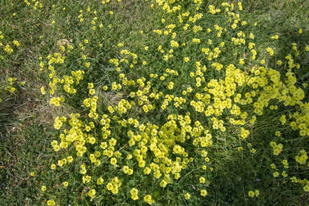 Yellow clover flowers Oxalis stricta, the common yellow woodsorrel, common yellow oxalis, upright yellow-sorrel, lemon clover, sourgrass or pickle plant. 写真素材 - 127062774