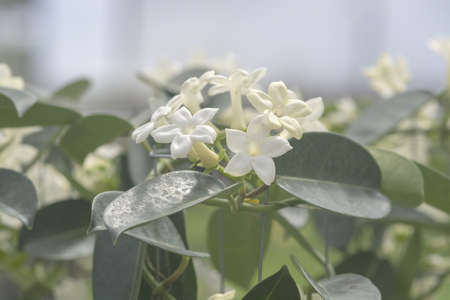 Stephanotis floribunda jasminoides names are Madagascar jasmine, waxflower, Hawaiian wedding flower, bridal wreath is a species of flowering plant in the family Apocynaceae, native to Madagascar. 写真素材 - 127062775