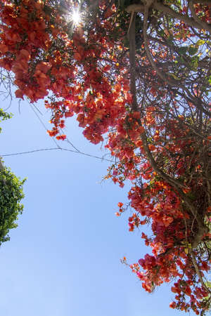 Bougainvillea flowers against blue sky on a sunny day in Mallorca, Spain 写真素材 - 127062778
