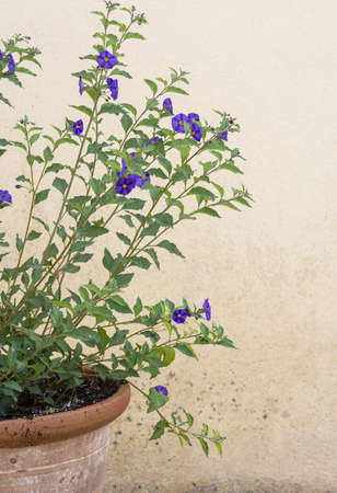Purple yellow lyciantes flower on branches with green leaves in terracotta pot background copy space. 写真素材
