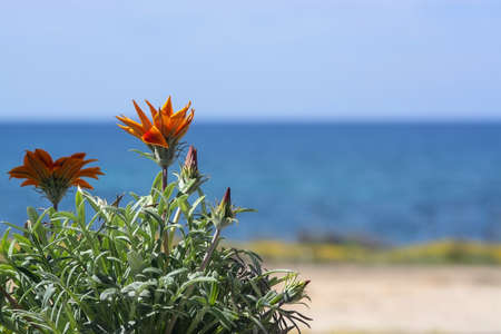 Bright orange aster like flower with blue sea and horizon out of focus with copy space, Mediterranean Spain.