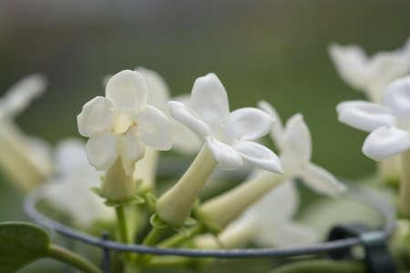 Stephanotis floribunda jasminoides names are Madagascar jasmine, waxflower, Hawaiian wedding flower, bridal wreath is a species of flowering plant in the family Apocynaceae, native to Madagascar. 写真素材
