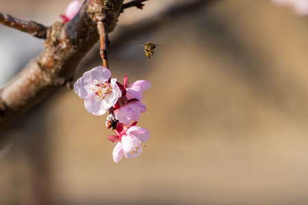 Close-up shot of pollination process of blossoming beatiful peach flowers performed by bees and bumble bees. Background out of focus due to shallow depth of field.