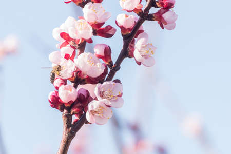 Beautiful pink peach tree flowers in blossom with deep colorful blue sky. Parts of image are blured due to shallow depth of field and large focal length