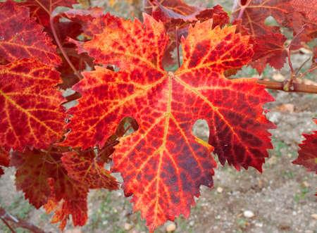 flushed: flushed autumn leaf of a vine tree Stock Photo