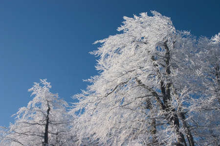 frosted: frosted tree at Christmas background of blue sky Stock Photo