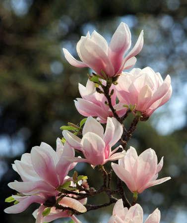 blooming: blooming magnolia