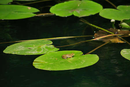 colorful frog on a large sheet of water lily Stock Photo