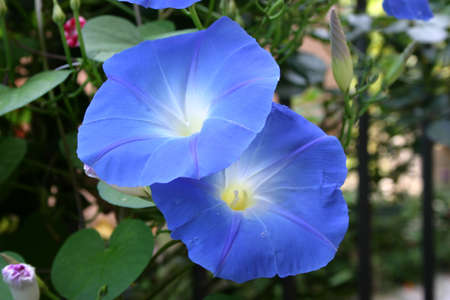 beautiful bloom ipomoea Stock Photo