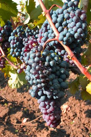 grapes ripe wine grapes in the sun in the vineyard Stock Photo