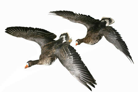 two beautiful ducks fly in the sky over spring field Stock Photo