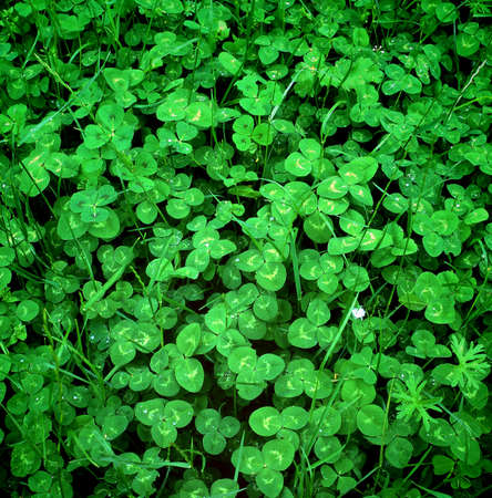 clovers: Fresh green clovers in the spring