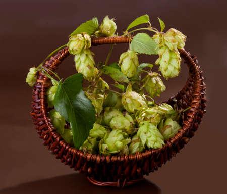 lupulus: fresh, aromatic hops Stock Photo