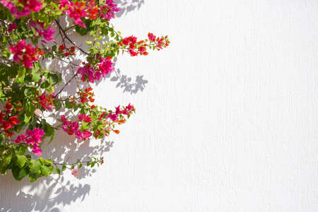Bougainvillea climbing against the wall of a house Stock Photo
