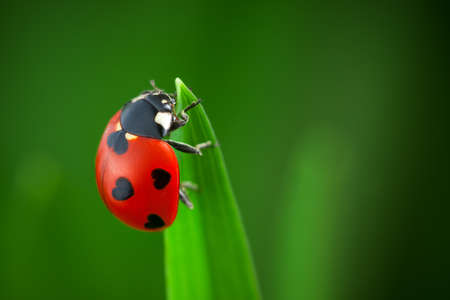 Ladybug on Green Grass Over Green Bachground. Shape of black heart. photo