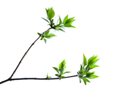 Spring branch of a Tree, Isolated on White Background