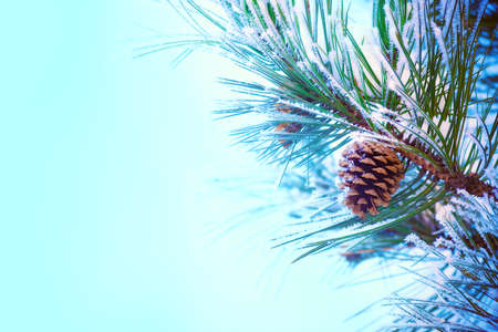 snowscene: A snow-covered pine cone on a frosty pine branch. Much space for copy.