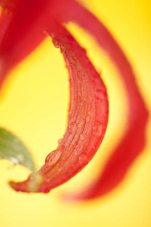 Petal of a lily with water drops on a yellow background photo