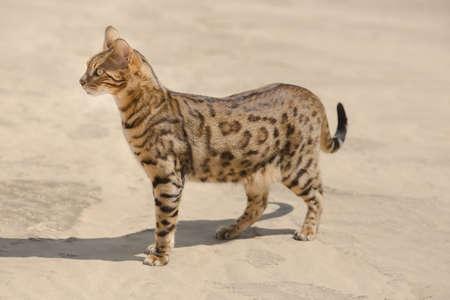 Savannah wild cat walking and hunting in desert Foto de archivo
