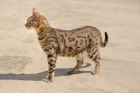 Savannah wild cat walking and hunting in desert Archivio Fotografico