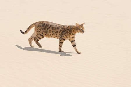 asher: Savannah wild cat walking and hunting in desert Stock Photo