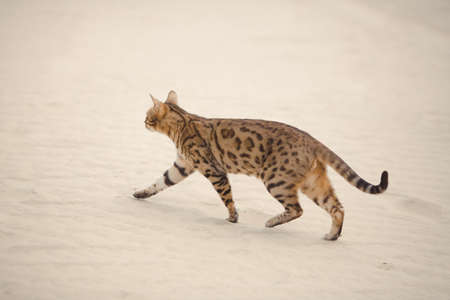 Savannah wild cat walking and hunting in desert Stock Photo