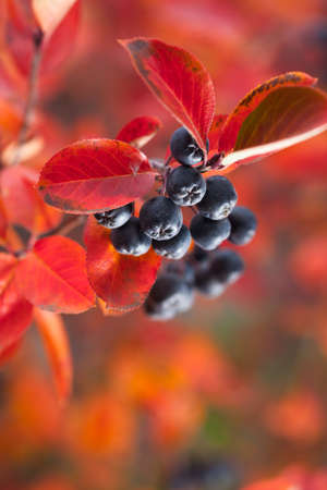 Ripe chokeberry in autumn garden. Bush with red leaves.