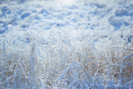 Strong icy grass with ice crystals of snowflakes with empty light copy space for text