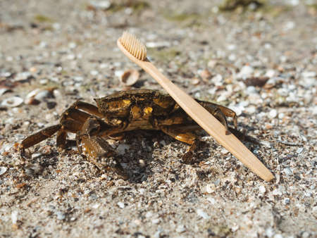 The crab on sandy beach holding wooden toothbrush on sunny day outdoors. Respect for the environment and reduce the use of plastic in life concept. 免版税图像