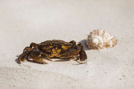 The crab and shell on sandy beach with nice copy space background on sunny day outdoors