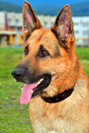 head protection: portrait of German Shepherd on the nature Stock Photo