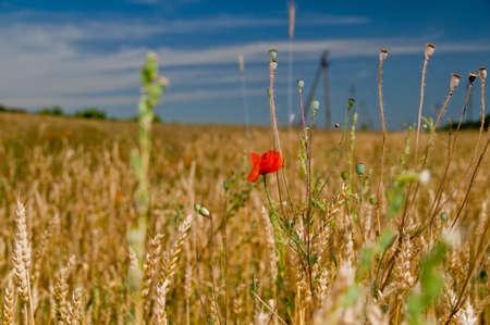 poppy in wheat field photo