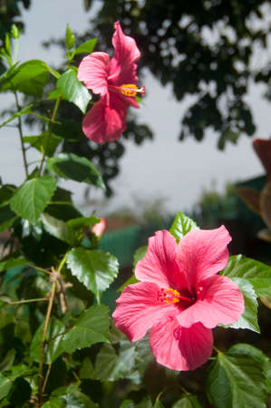 Pink and red Hibiscus flowers in the garden photo