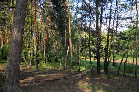 veiny: A beautiful pine forest  Slavyanogorsk Donetsk region, Ukraine