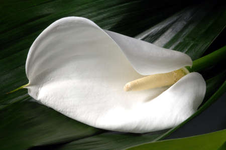 Calla lily flower in a garden, closeup Stock Photo