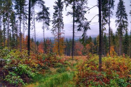 veiny: Un hermoso bosque de pinos. Monta�as de los C�rpatos, Ucrania Foto de archivo