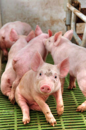 小さいと面白いピンクの子豚豚舎で