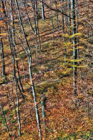 veiny: A beautiful pine forest. Carpathian Mountains, Ukraine