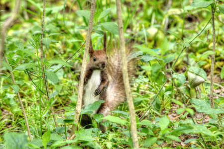 fluffy tuft: A red squirrel in green grass eating a walnut.