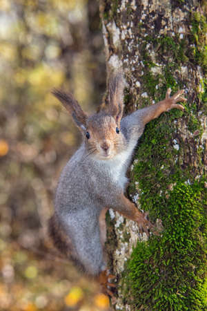 A red squirrel perched in a tree eating a walnut. photo