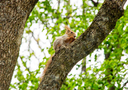 fluffy tuft: A red squirrel perched in a tree eating a walnut. Stock Photo