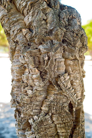 detailed view: Detailed view of cork oaks tree