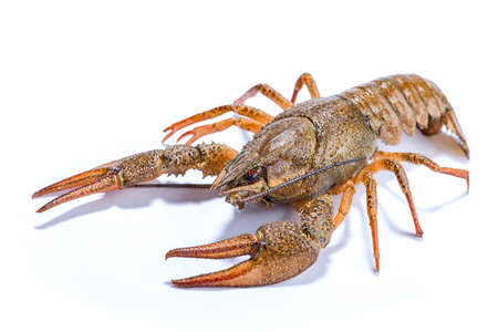 raw lobster: alive crayfish isolated on the white background Stock Photo
