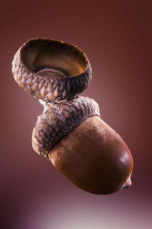 roundish: acorn of oak isolated on a brown background