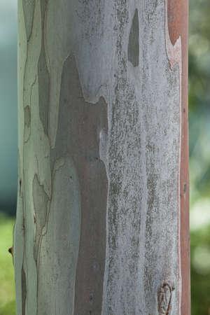 Eucalyptus tree, leaves