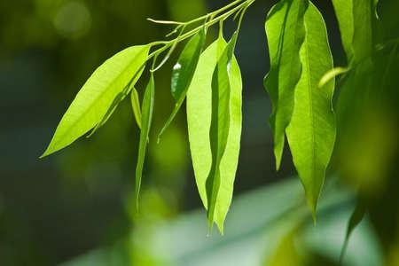 유칼립투스 나무, 잎