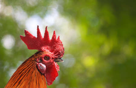 Rooster isolated on nature background